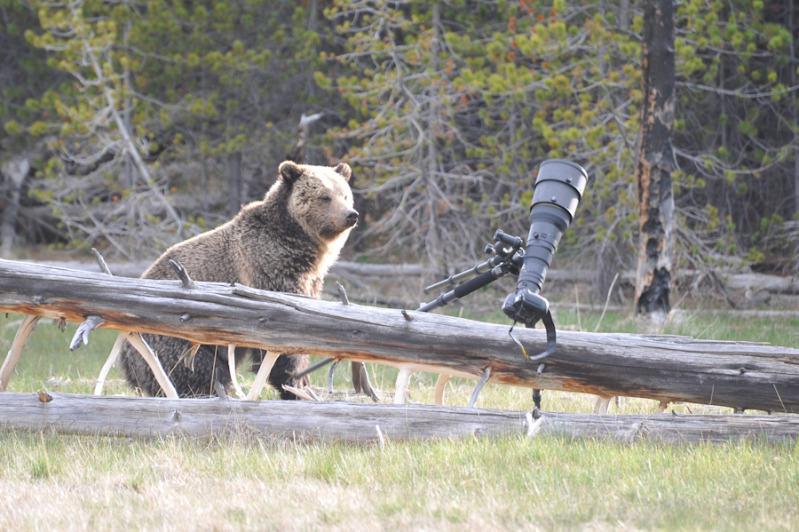 Grizzly Bear with Nikon