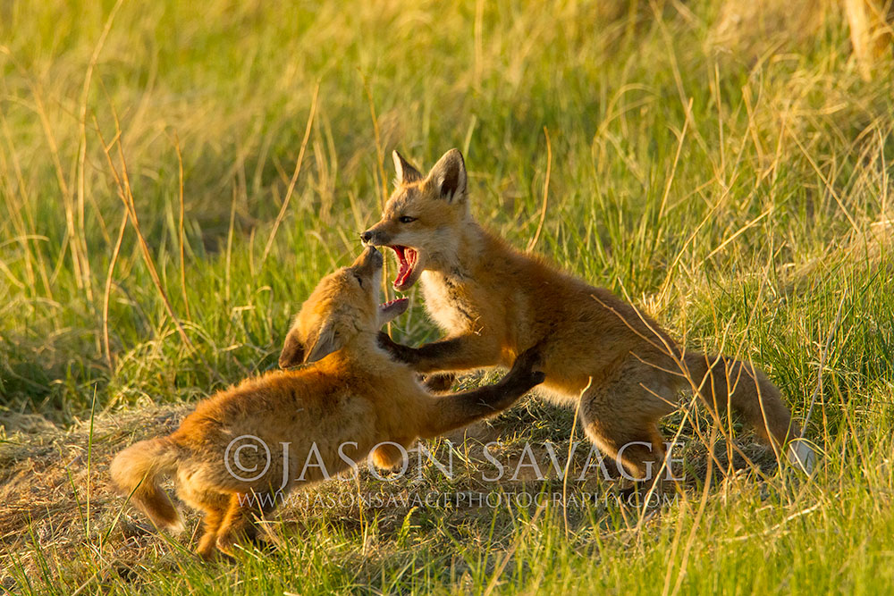 Red Fox Kits Montana