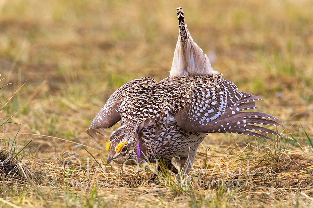 Sharp-tailed Grouse Courtship