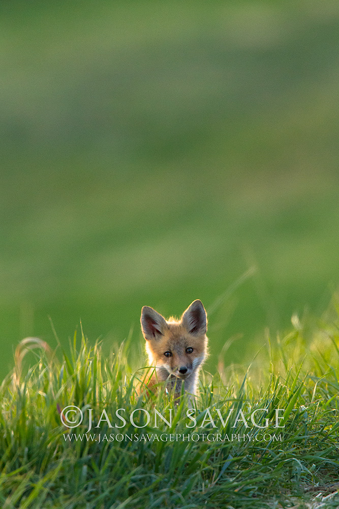 Red Fox Kit, Montana
