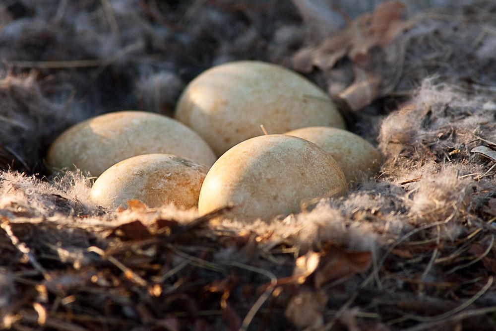 Canada Goose Eggs