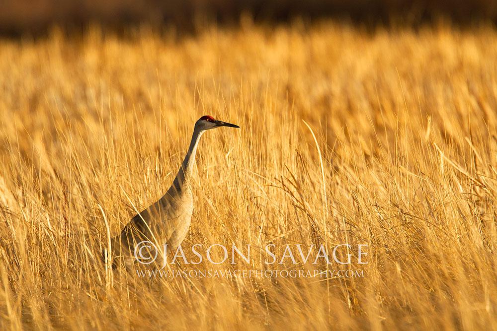 Sandhill Crane Montana