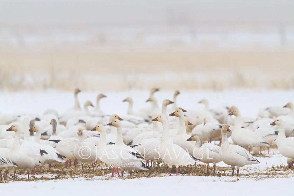 Snow Geese Montana