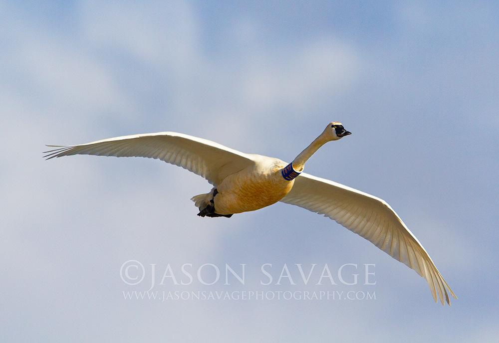Banded Tundra Swan