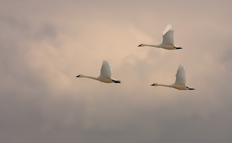 Swans over Freezeout Lake
