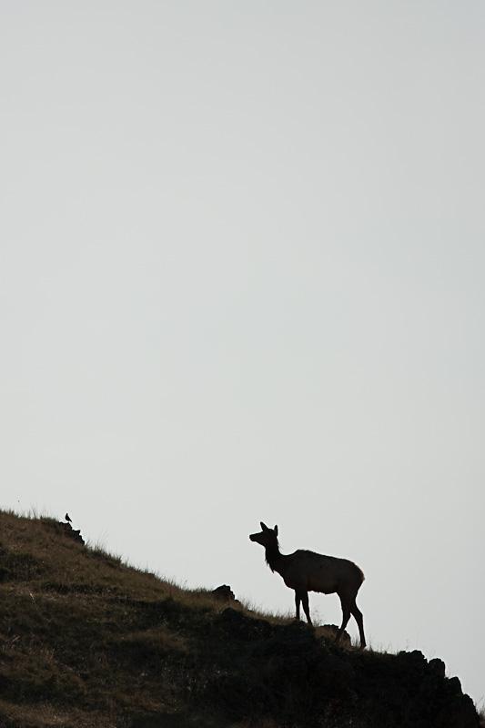 Cow Elk Montana