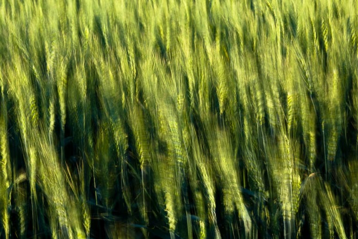 Abstract Wheat